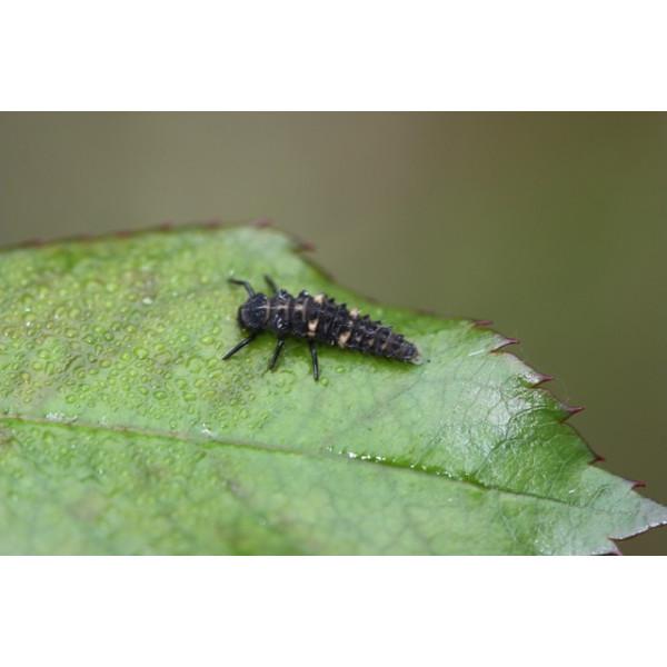 Anti-pucerons pour plantes basses - 50 larves Coccilaure européenne