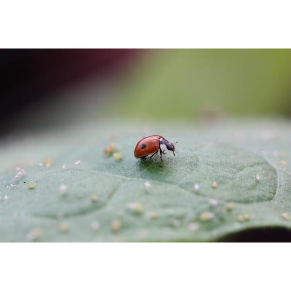 Anti-pucerons pour arbres - 20 adultes Coccifly européenne