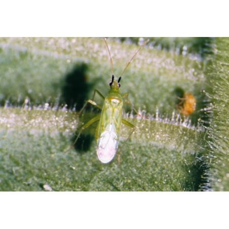 Anti-mouches blanches et acariens - 50 adultes Calpop