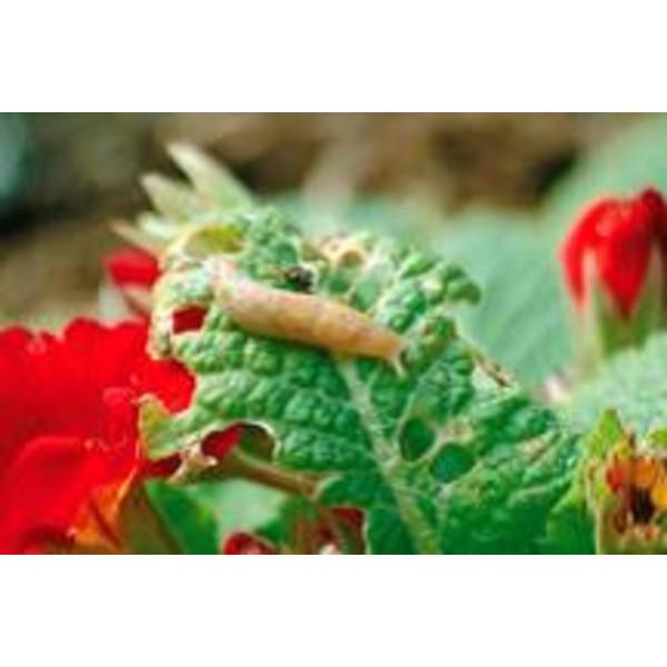 Anti-limace - Nématodes PH pour 30m²