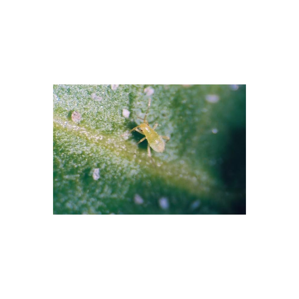Anti-aleurodes et acariens - 80 larves Calpop